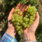 Mudbrick chardonnay grapes